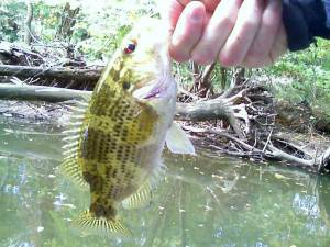 A bad photo of a typical Stillwater River Rock Bass